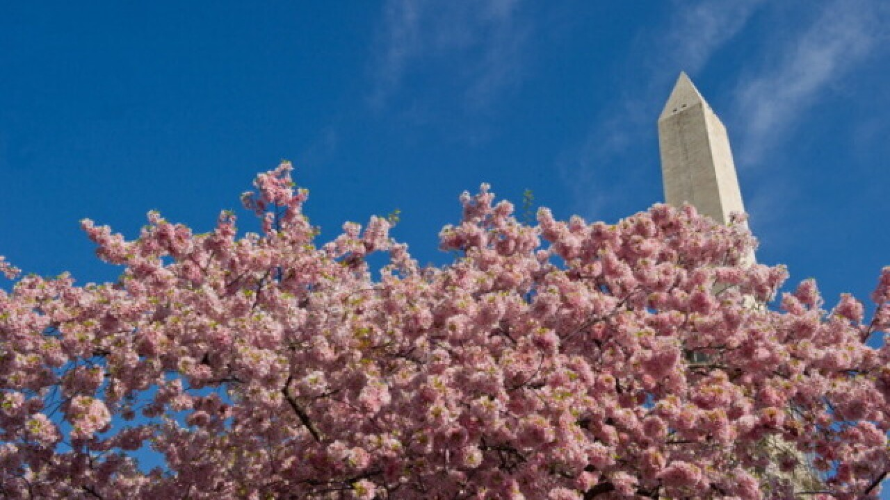 Cherry blossom peak date prediction pushed back