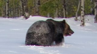 Video: big grizzly bear trudging through snow in Glacier County