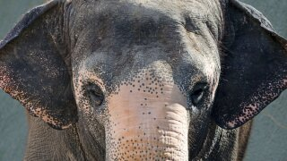 A 51-year-old Asian elephant who lived at the Phoenix Zoo for more than two decades has died.  Photo courtesy Phoenix Zoo.