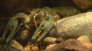 nashville crayfish.png