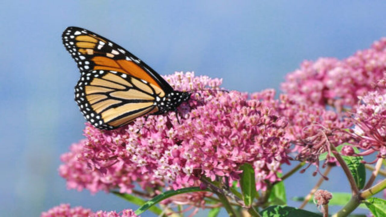 This Year's Monarch Butterfly Migration Appears Larger Than Usual