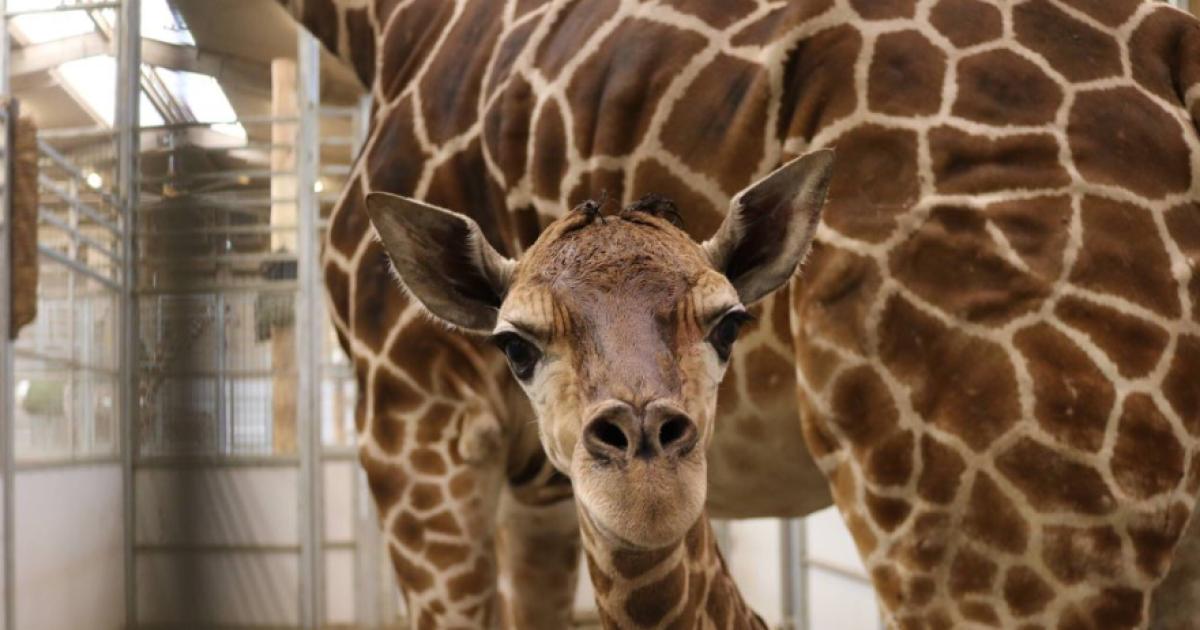 Henry Doorly Zoo says baby giraffe has been named