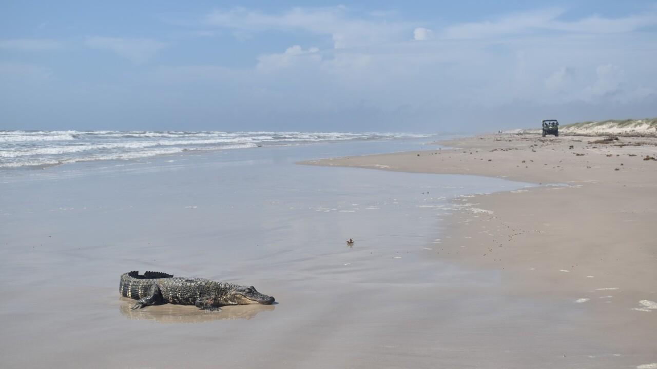 Alligator-On-Padre-Island-National-Seashore.jpg