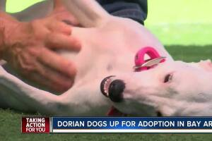 Dogs rescued from Bahamas after Hurricane Dorian ready for adoption