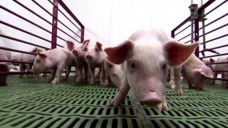 Montana Ag Network: Secure Pork Supply Plan