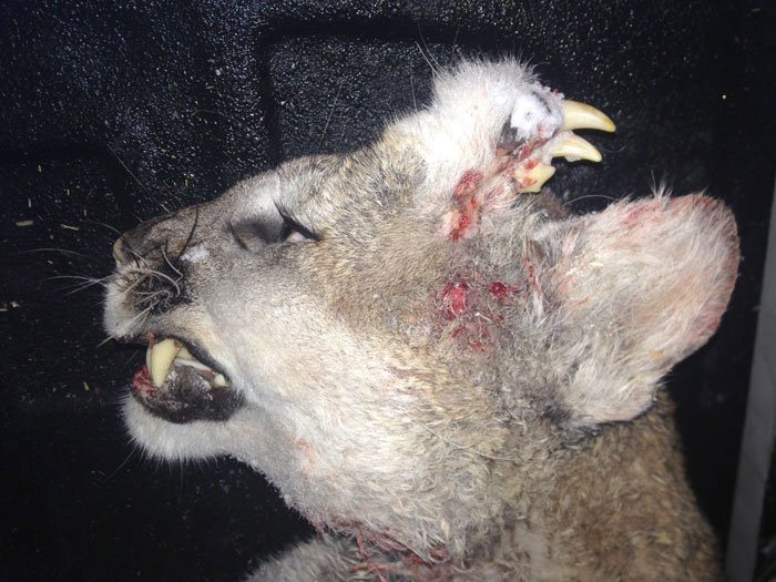 Photos: Deformed mountain lion spotted in Idaho remains amystery
