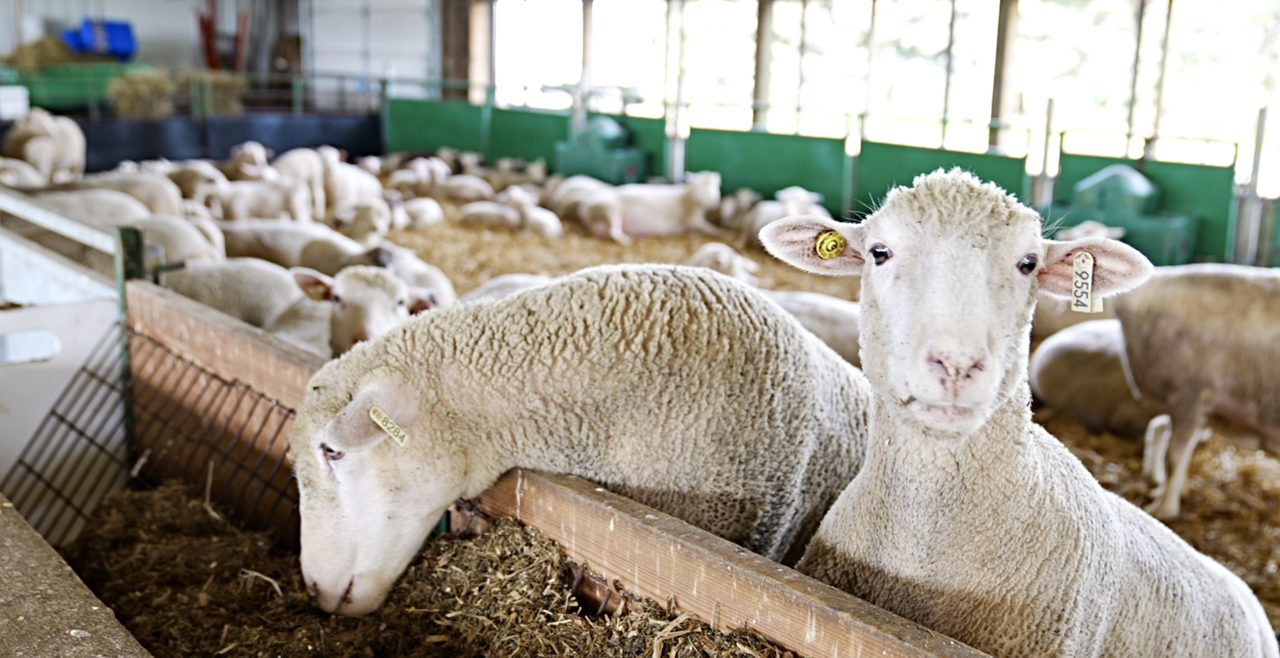 MSU Sheep Teaching and Research Center