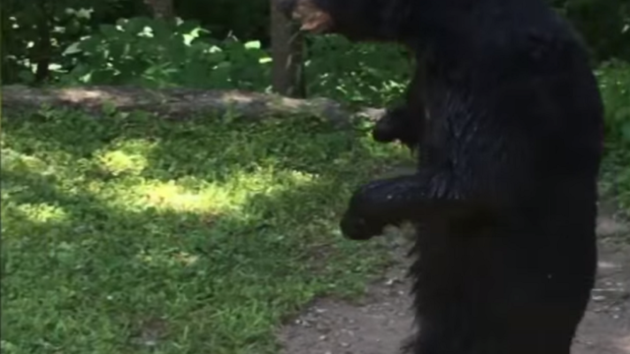 WATCH: Pedals, beloved bear who walks on hind legs, spotted again