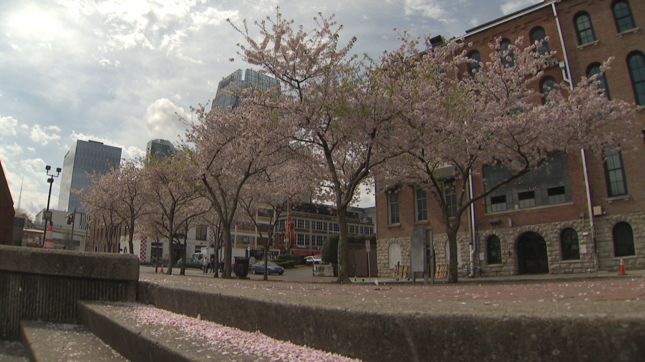 3P CHERRY BLOSSOMS_frame_460.png
