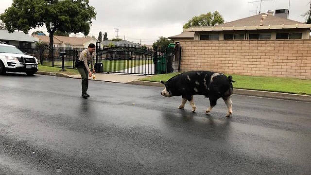 California sheriff's deputy lures giant pig back to home with Doritos