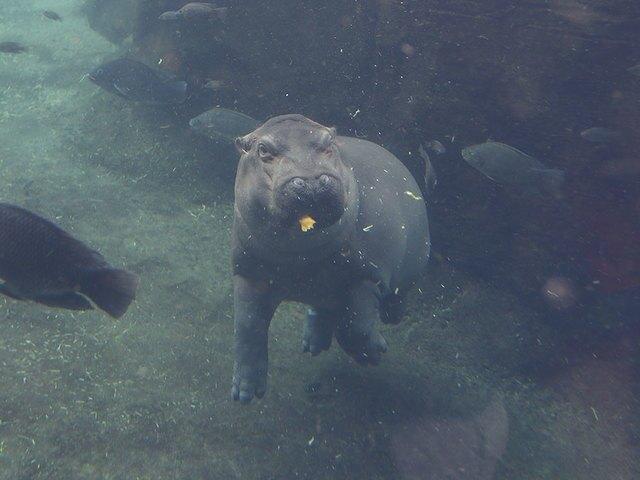Fiona, her parents and elephants get HallZOOween treats at the Cincinnati Zoo