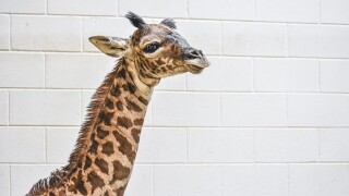 Virginia Zoo Giraffe 2.jpg