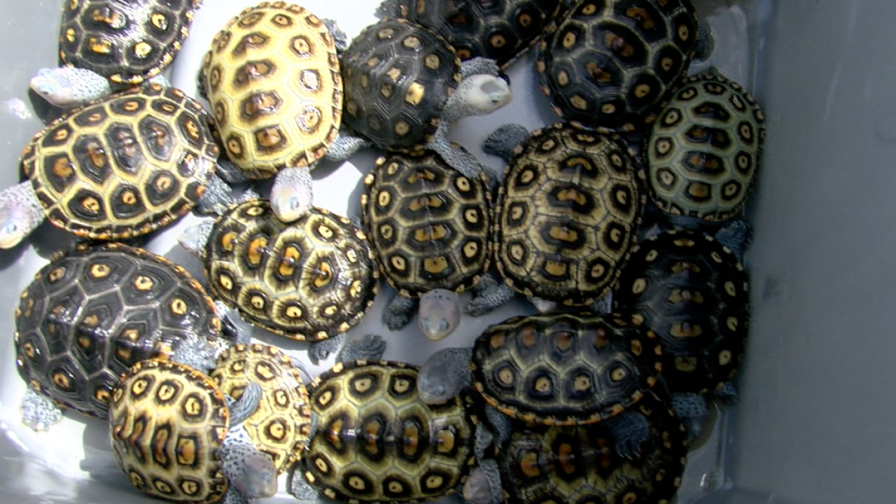 turtle hatchlings 3