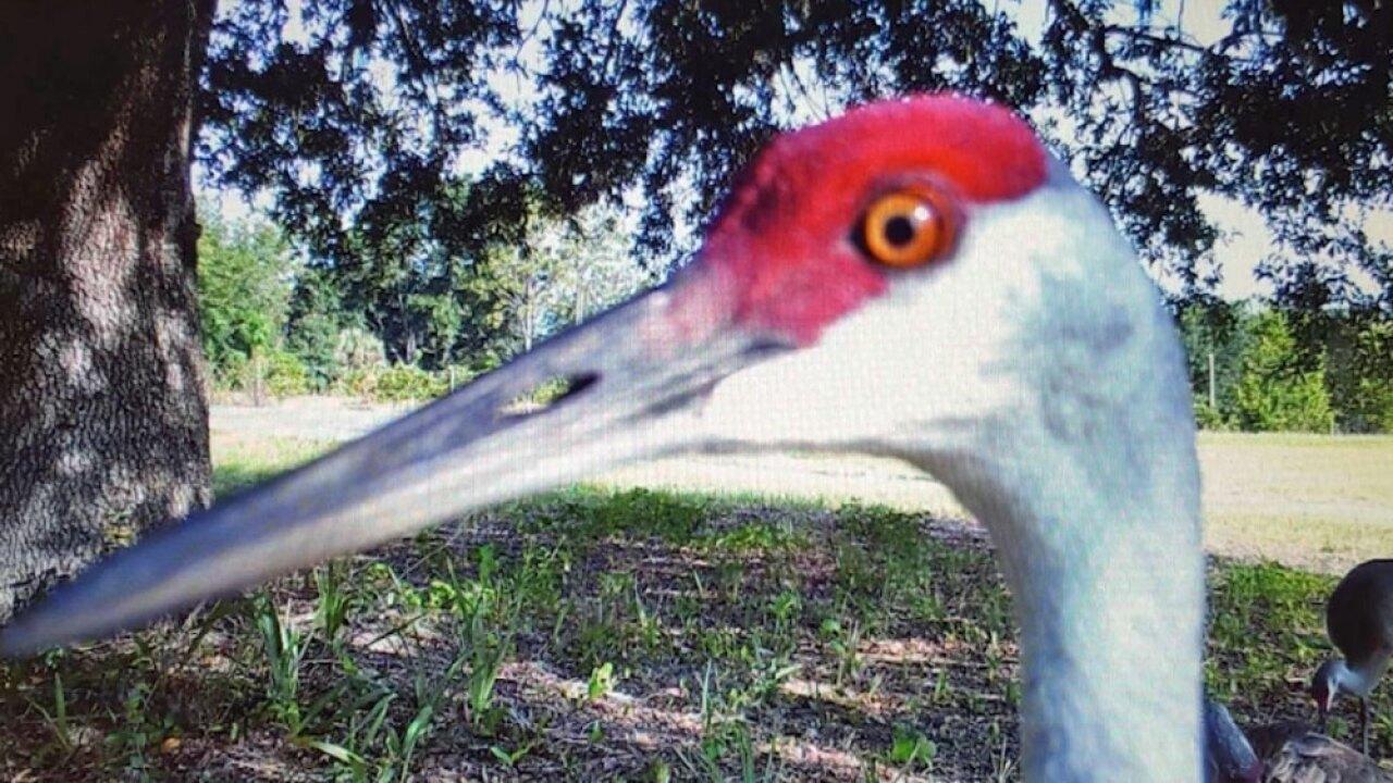 wptv-sandhill-crane.jpg