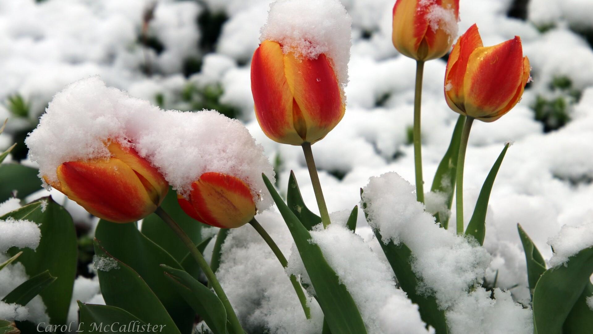 Snow Flowers Carol McCallister.jpg