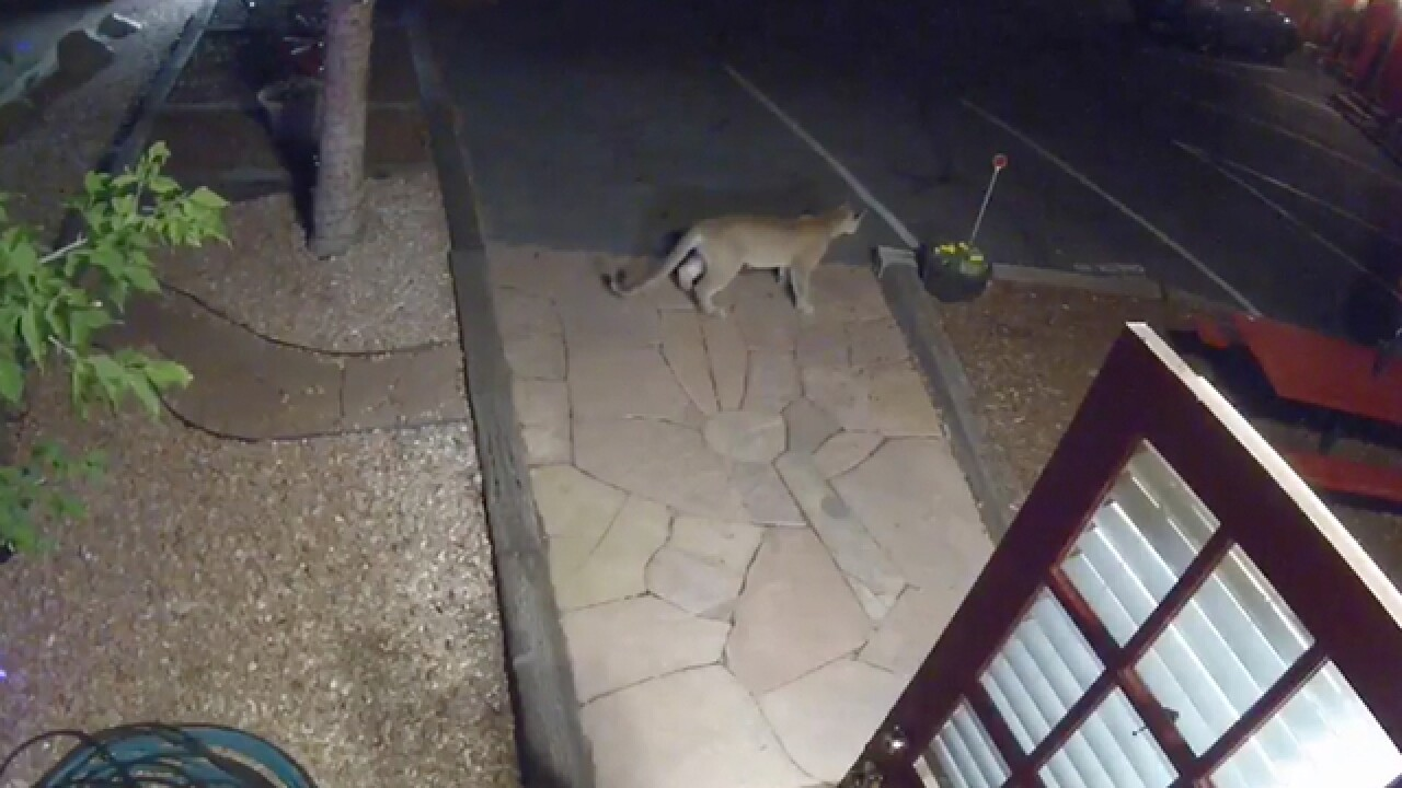 Mountain lion visits Boulder motel but doesn't stay long
