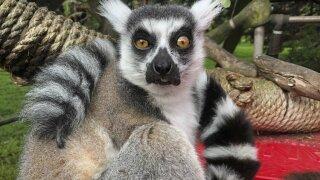 lemur.jpeg