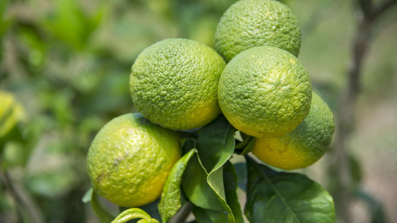 To beat back citrus greening, Florida State researchers need to grow bacteria behind it