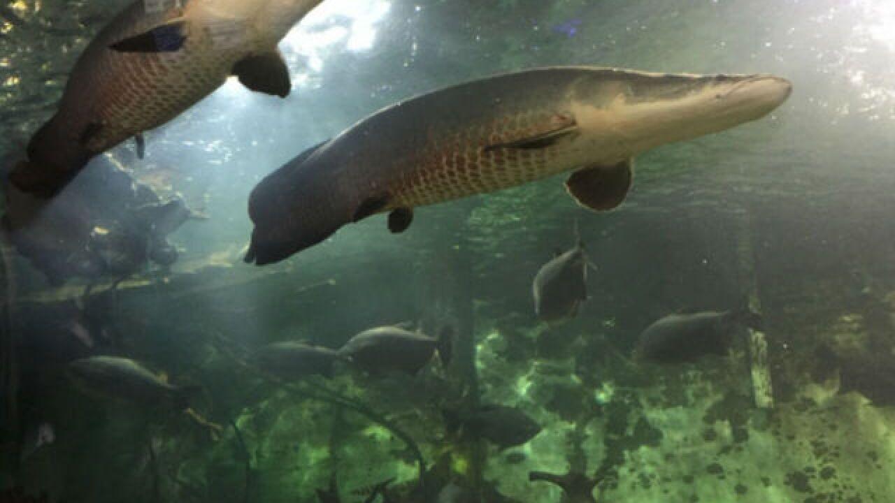 A look at Newport Aquarium's giant 'monsters'