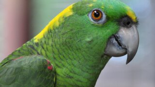 Someone called police to report a woman screaming for help from a neighbor's house. It was a parrot.