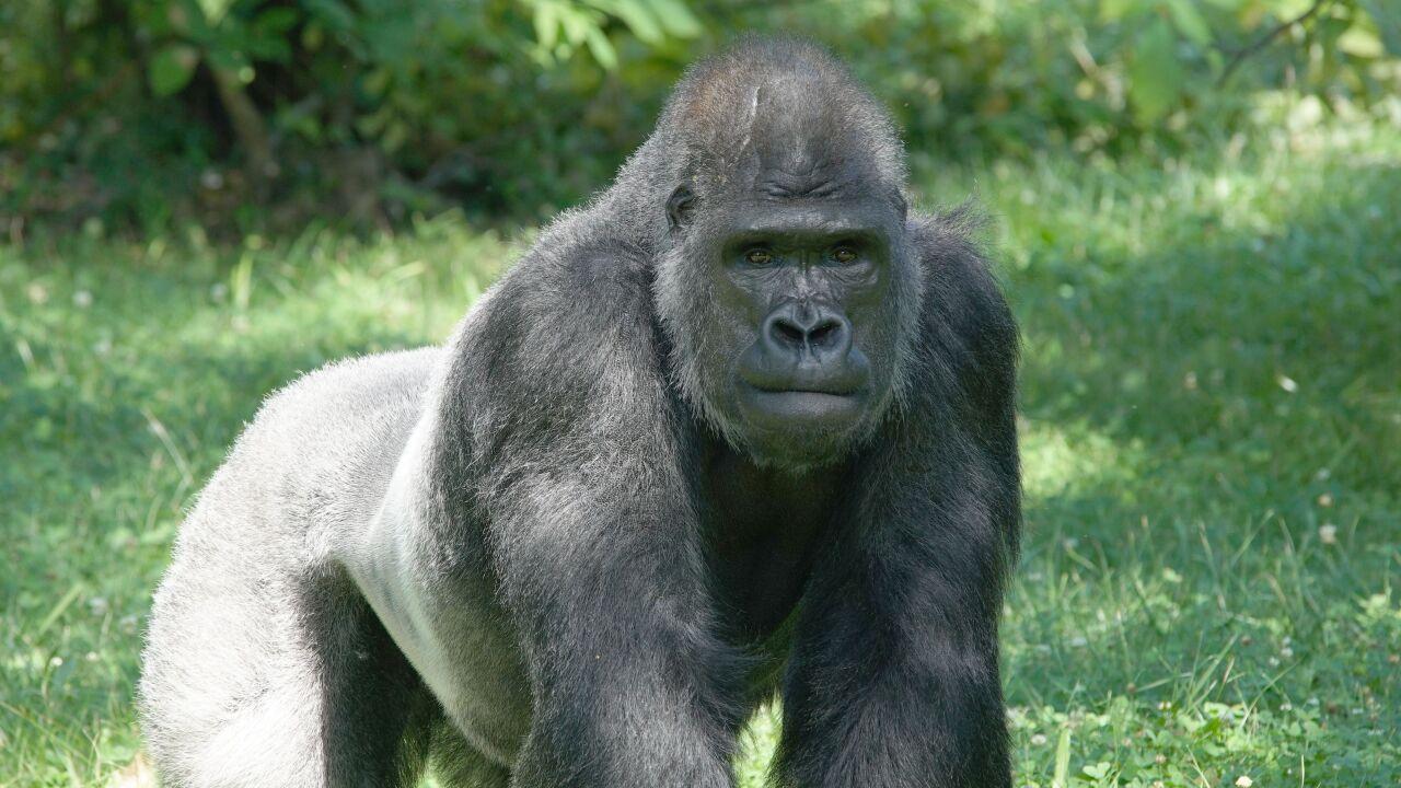 Curtis the gorilla