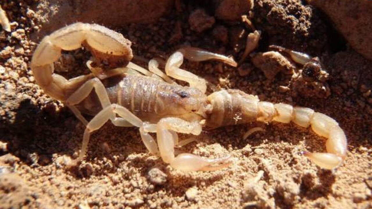 SCARY! 4 Types of scorpions crawling the Valley