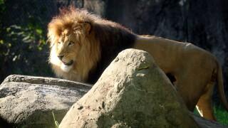 indianapolis zoo lion covid