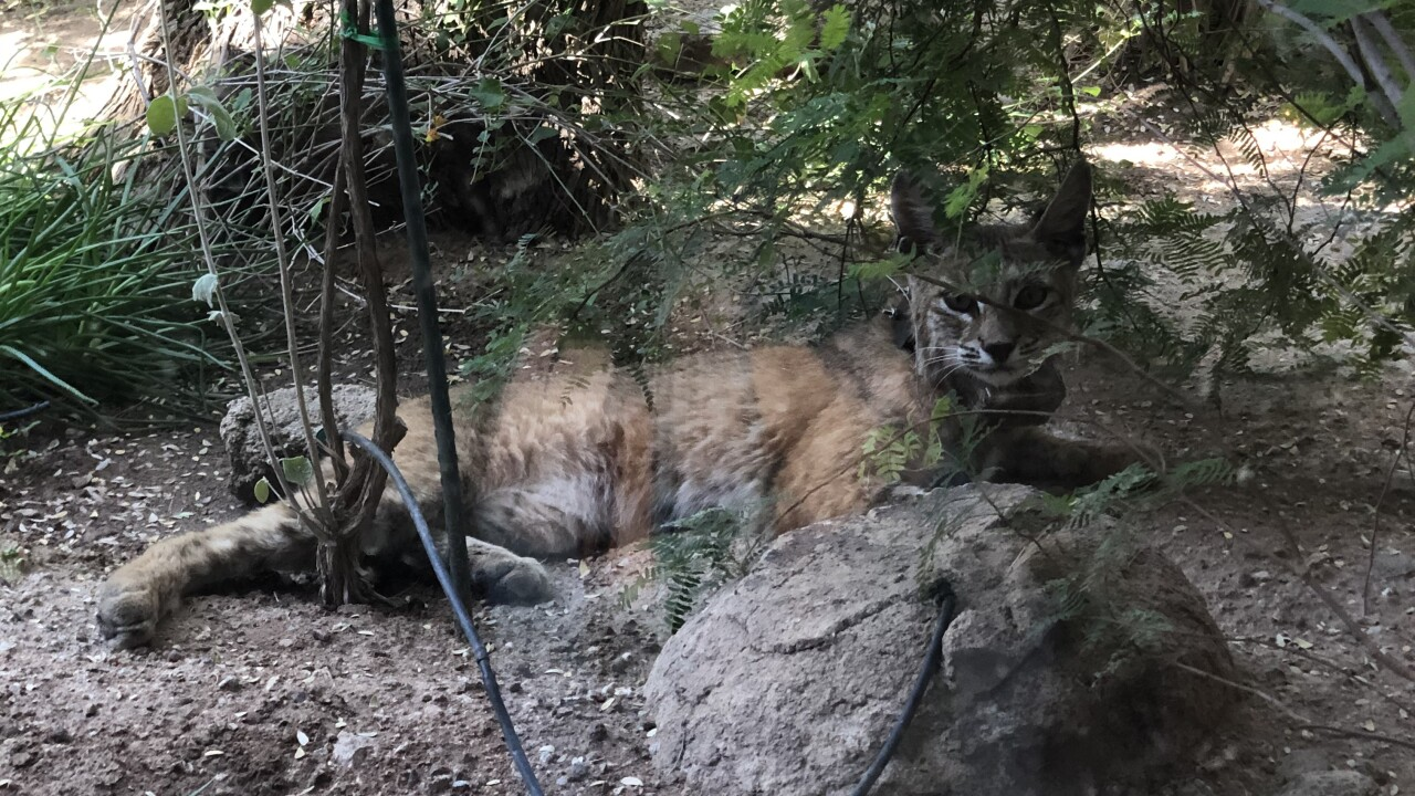 Bobcats in Tucson
