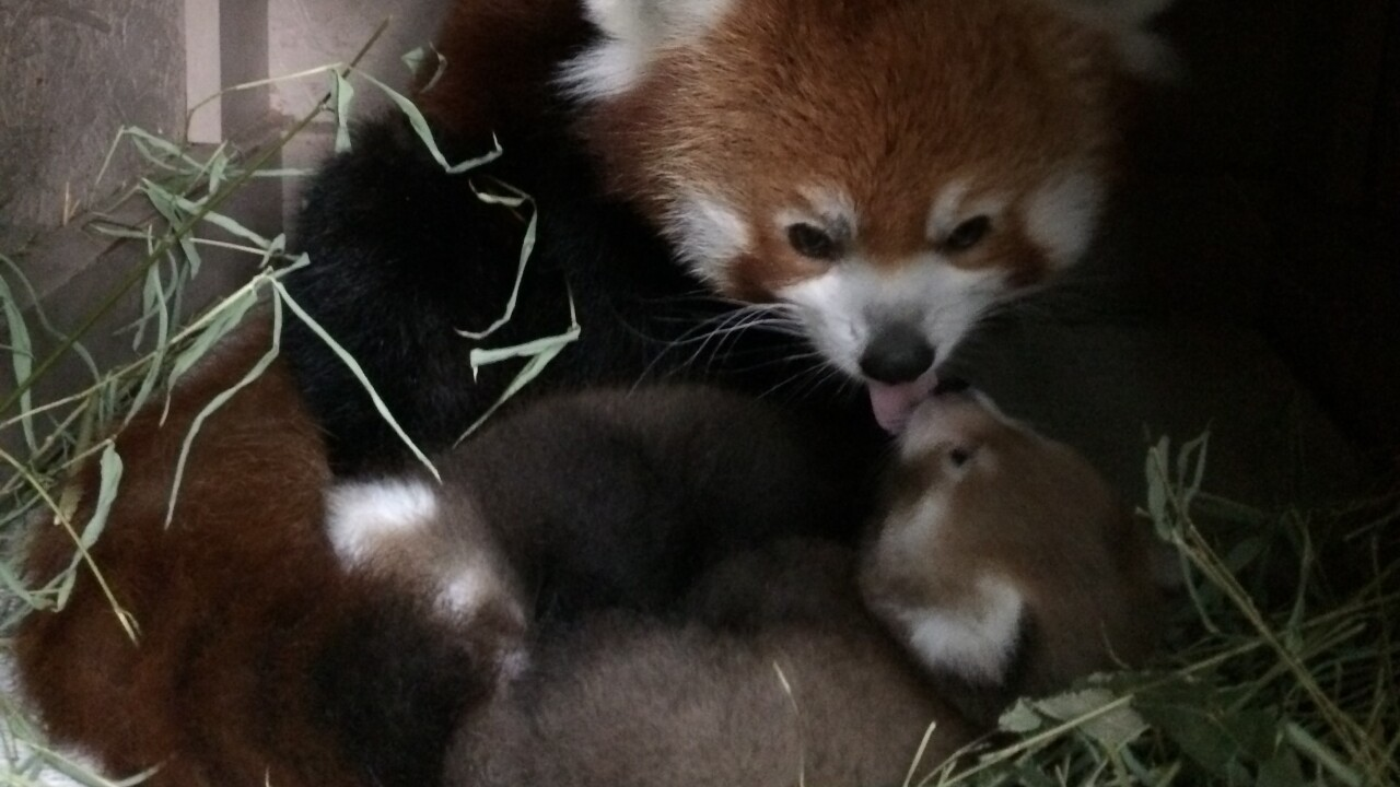 Red Panda Cubs 2.JPG