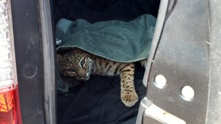Woman picks up injured bobcat, puts it in car next to child