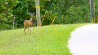 Why did deer collisions go up in Ohio last year?