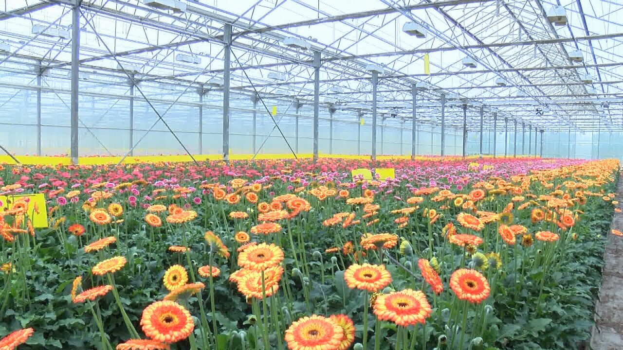 California S Flower Industry Gutted From Coronavirus As Local Farms Wilt Under Financial Losses