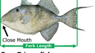 saltmeasuregraytriggerfish.jpg