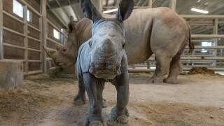 San Diego Zoo welcomes second Southern White Rhino born via artificial insemination