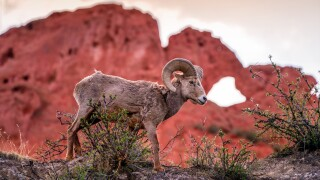 Daniel Forster Garden of the Gods bighorn sheep