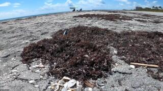 Seaweed washes up on Juno Beach on May 26, 2021.jpg