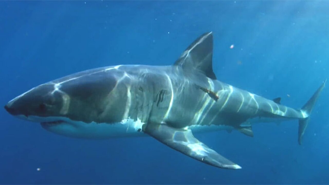 You can 'win a shark' in OCEARCH's Shark Awareness Day contest