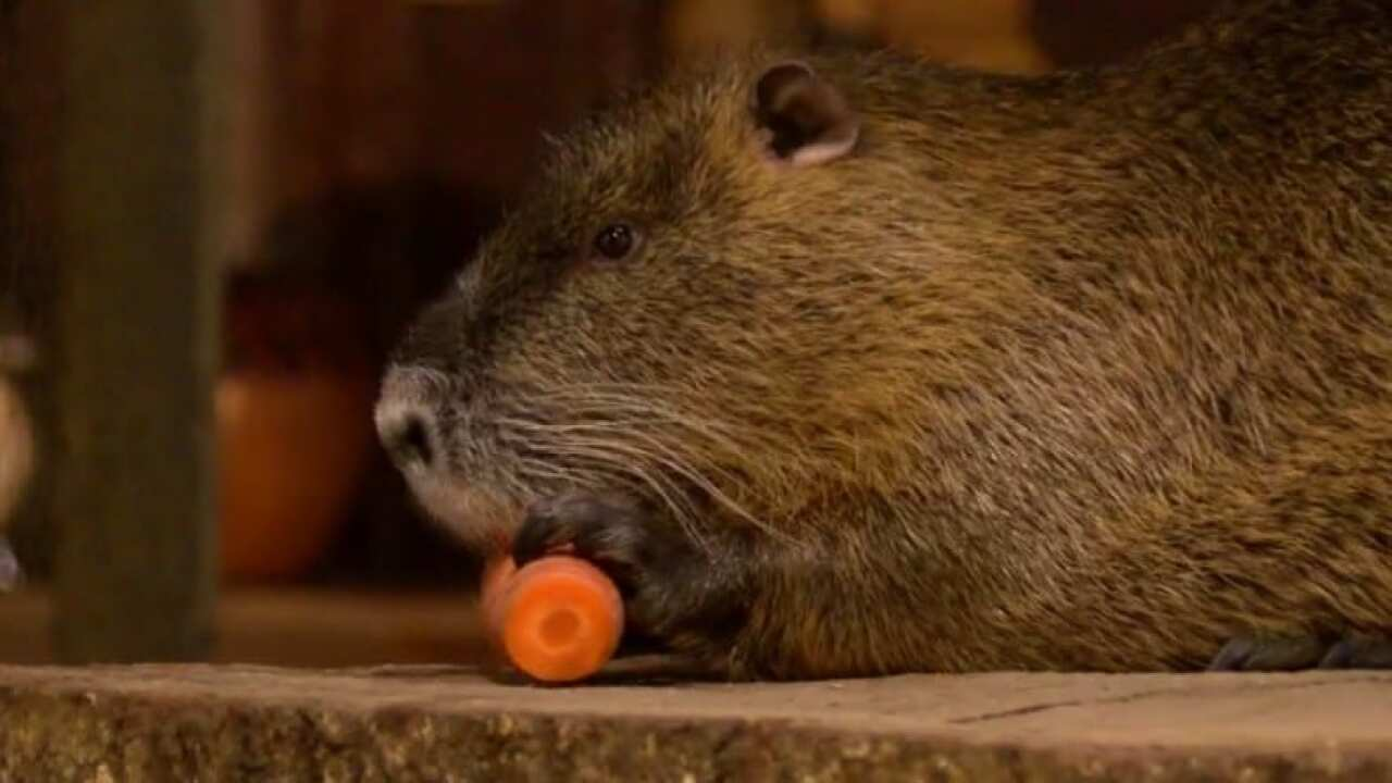 Cajun Groundhog to make springtime prediction Saturday