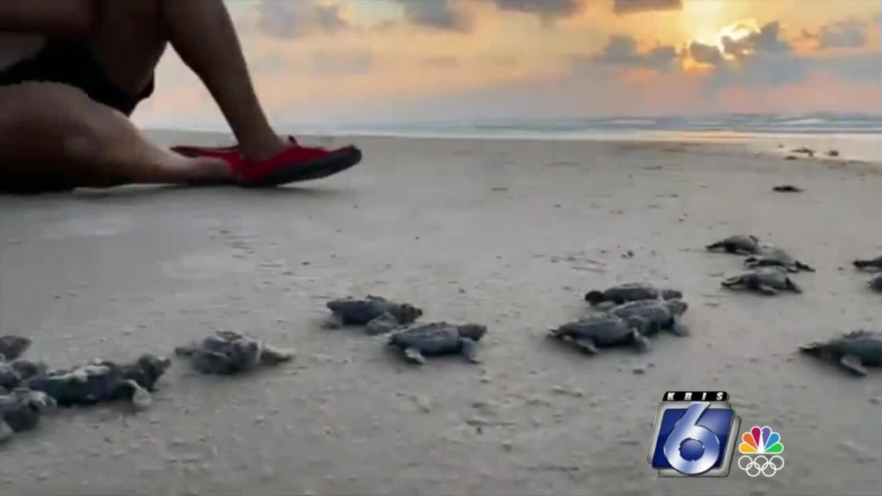 Turtle hatchlings release set at Malaquite Beach