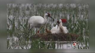 Two-year shooting investigation of whooping cranes solved