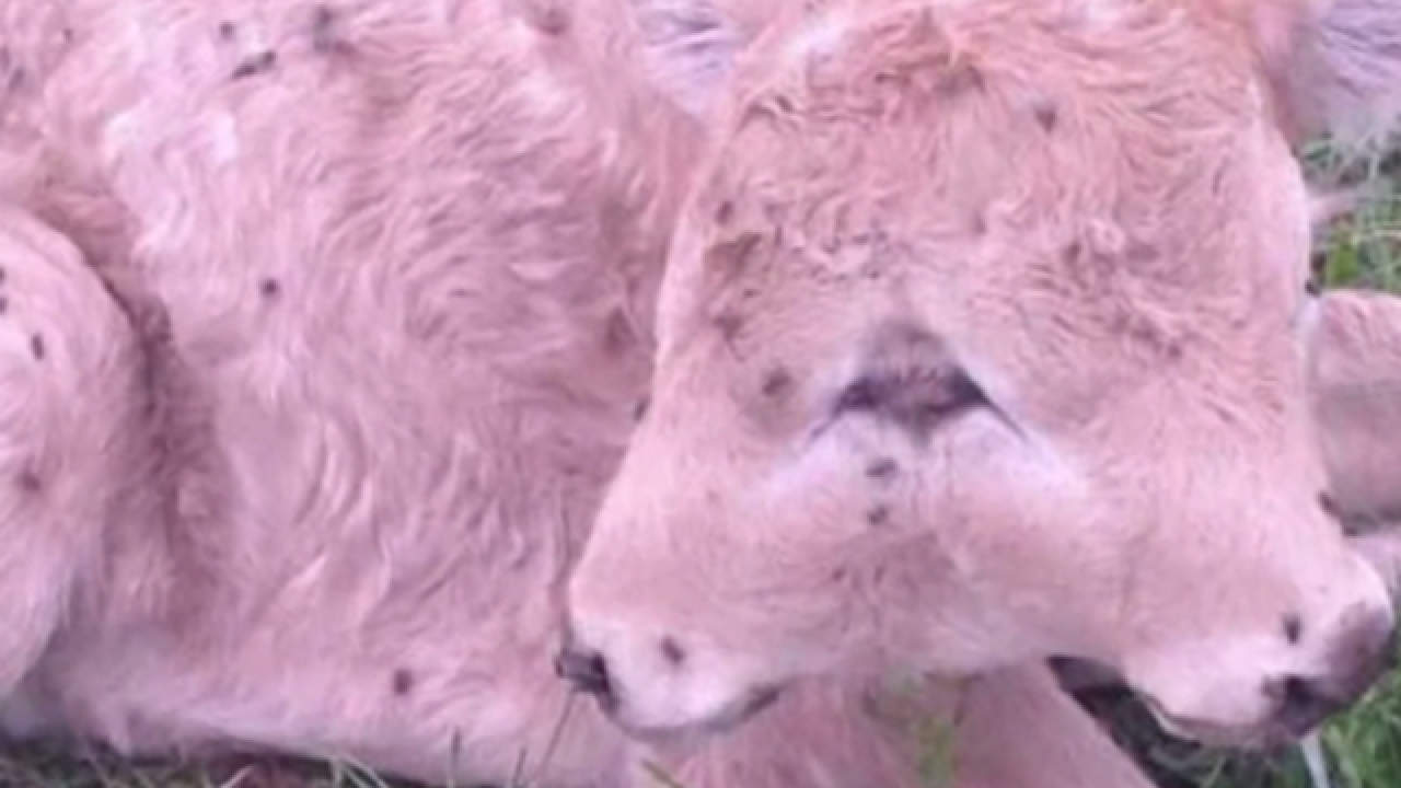 Kentucky family welcomes 2-headed calf