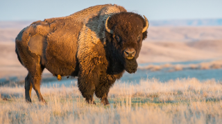 bison stock image.png