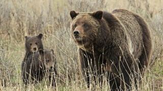 Judge again delays grizzly hunting in the Rockies