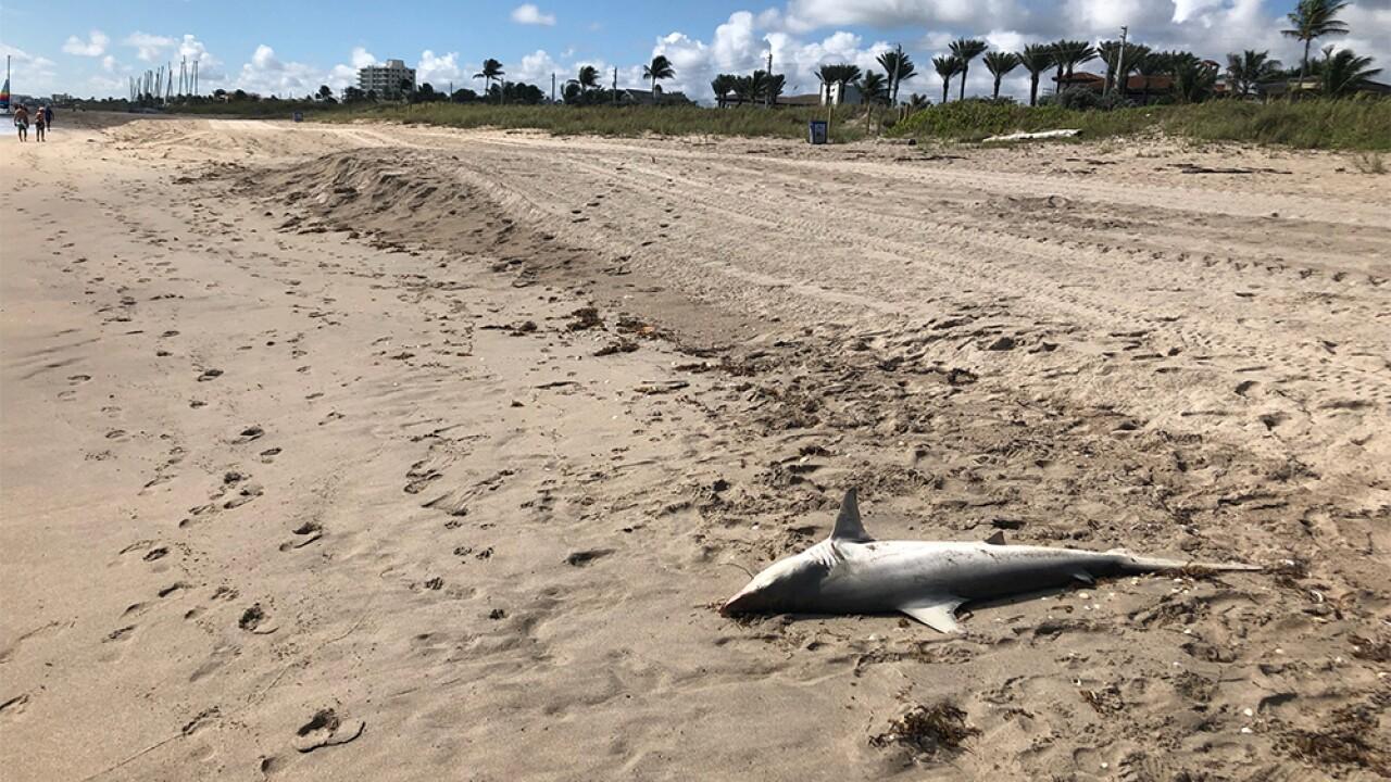 WPTV-DELRAY-BEACH-DEAD-SHARK-3.jpg