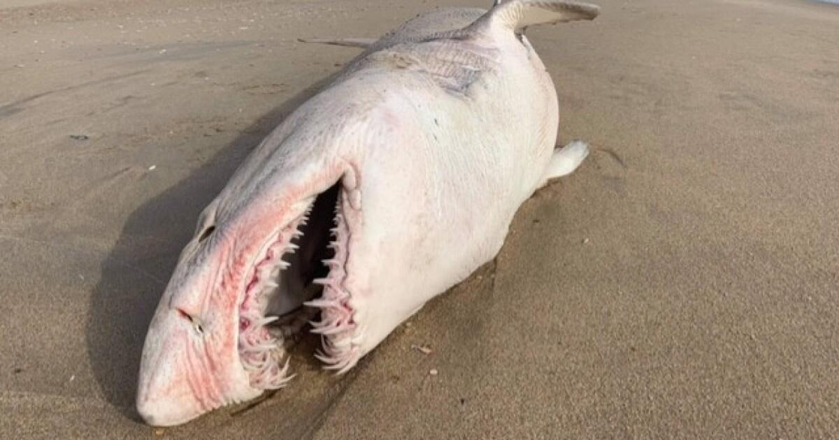 Virginia Aquarium curator talks about shark washed up near Sandbridge