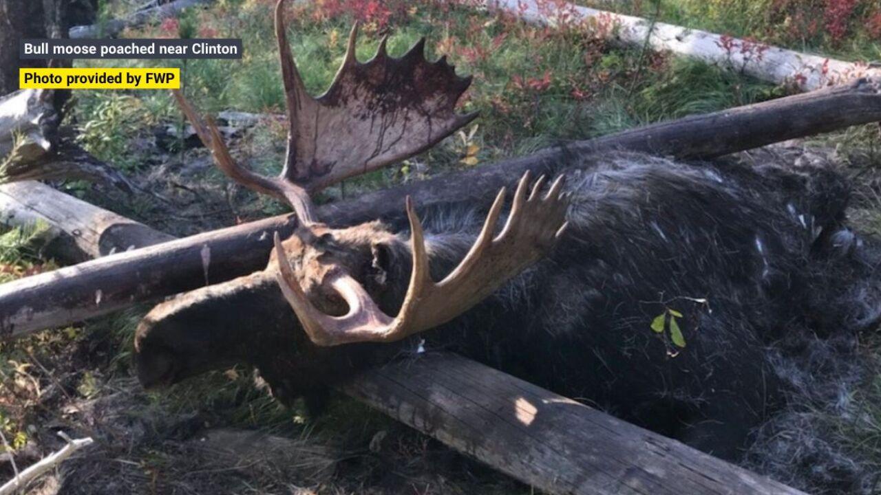 Bull moose poached near Clinton