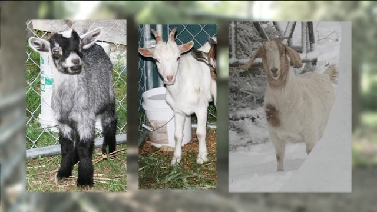 Three pet goats shot and killed on Suffolk family farm