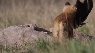 A Wilder View: Fox dens help Montana's ecology