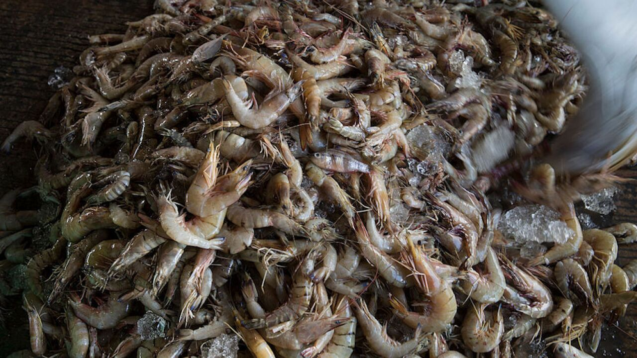 Traces of cocaine found in shrimp caught in the United Kingdom