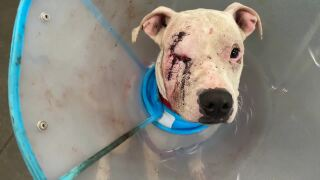 PACC finds dog with missing eye and slash under neck, foster needed